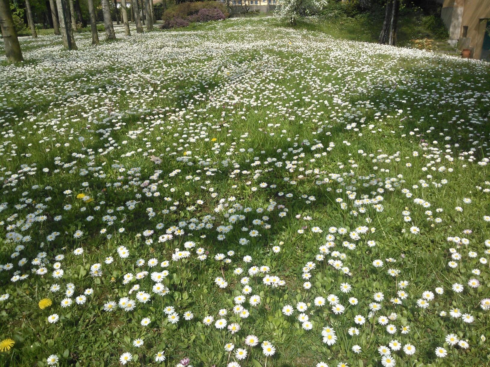 Prato con fiori spontanei che ne dite pratosubito for Prato erboso a rotoli